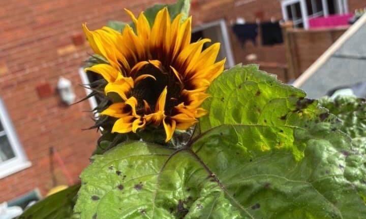 Sunflowers bringing joy to the local community